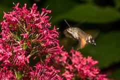 Humming Bird Hawk Moth (Macroglossum stellatarum) (Mark Wasteney) Tags: happywingwednesday hww moth insect flight wings closeup fauna nature wildlife flowers flora redvalerian