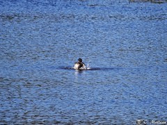 190528-31 Grèbe à bec bigarré (clamato39) Tags: grèbe oiseau bird canard duck wild sauvage eau water lake lac outside nature captourmente provincedequébec québec canada olympus