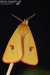 Clouded Buff (Diacrisia sannio) (gcampbellphoto) Tags: cloudedbuff diacrisiasannio moth insect nature wildlife donegal ireland macro gcampbellphotocanon