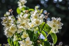 Seringa, Jasmin des poètes (vostok 91) Tags: vostok91 canon canonef70300mmf456isusm eos40d fleur flower fleurs flowers flore bokeh blanche seringa jasmindespoètes
