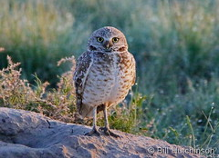 June 1, 2019 - A burrowing owl paying close attention. (Bill Hutchinson)
