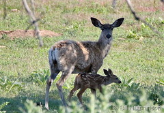June 5, 2019 - A mule deer fawn and its mom. (Bill Hutchinson)