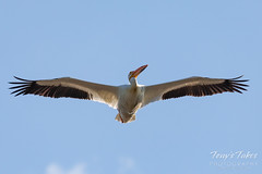 June 2, 2019 - Pelican in flight over Adams County. (Tony's Takes)