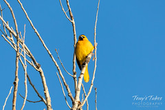 June 1, 2019 - A bullock's oriole hanging out.  (Tony's Takes)