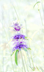 Monarda Wildflower IMG_0016 (3Bs7Gs) Tags: monorda horsemint lemonmintwildflower beebalmwildflower horsemintwildflower flowers lavenderblueflowers fragrantplants monardawildflower