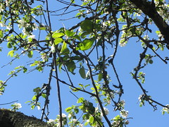 Blossom, The Terrace/garden of the Hotel Costa Vella,   Rua  Porta  da  Pena,  Santiago  de Compostela,  Galicia, Spain (d.kevan) Tags: bars restaurants terraces gardens plants trees santiagodecompostela hotelcostavella spain galicia ruaportadapena flowers blossom leaves branches twigs sky