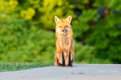 June 3, 2019 - A beautiful fox vixen. (Tony's Takes)