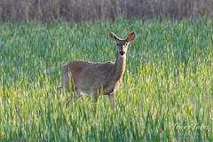 June 1, 2019 - Mule deer doe in the early morning sun. (Tony's Takes)