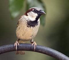 house sparrow bird (watts photos1) Tags: song sparrow bird birds brown white black nature wild life wildlife sparrows house