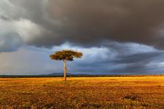Golden Acacia (Xenedis) Tags: acacia acaciatree africa afrika clouds eastafrica gamedrive goldenhour grass kenya landscape maasaimara maranorthconservancy narokcounty plains republicofkenya riftvalley safari savannah sky tree fh ig