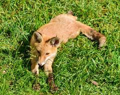 I Know I Am Cute (sbisson) Tags: fox cub mammal wildlife canine garden putney london orange green grass