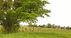 Pastoral scene in Ayr, Ontario (Trinimusic2008 -blessings) Tags: trinimusic2008 judymeikle nature tree grass sheep farm countryside june 2019 random gratitude toronto to ontario canada rural country pastoral tranquil