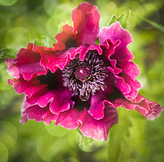 Patty's Plum (judy dean) Tags: flowers june 35mm garden judydean 2019 texture petals purple bokeh ps poppy papaver pattysplum day154365 3652019 365the2019edition 03jun19