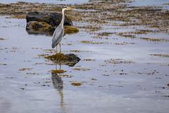 Gray heron (G E Nilsen) Tags: norway nordland bird heron nature water blue birds animal grey wildlife wild beak feather wading white great gray toget sea scandinavia brønnøy
