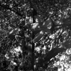 Consumed (4foot2) Tags: blackandwhite bw film church overgrown monochrome graveyard zeiss mediumformat mono weeds cross ivy jena graves 120film carl gravestone churchyard analogue kiev f28 киев 80mm filmphotography 88cm kiev88cm carlzeissjena biometar biometar80mm28 hasselbladski ukrainiancamera carlzeissjenabiometar80mm28 киев88cm 28 rodinal ilford ilfordhp5plus 2019 standdevelop 4foot2 4foot2flickr 4foot2photostream fourfoottwo