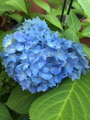 20190604_Terrasse_004 (Tauralbus) Tags: hortensie blüte blume endlessummer flower pflanze plant