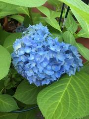 20190604_Terrasse_003 (Tauralbus) Tags: hortensie blüte blume endlessummer flower pflanze plant