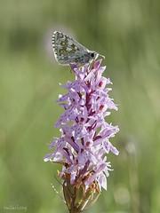 Papallona (Toni Lluch) Tags: olympusomdem5ii mzuiko60mmmacro papallona mariposa butterfly