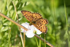 Small Pearl-bordered Fritillary Dartmoor (Martin F Hughes) Tags: martin hughes canon 7d mkii mk2 butterfly insect wings wildlife dartmoor small pearlboarded fritillary