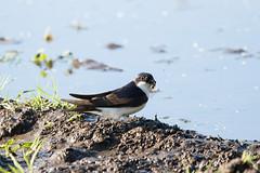 House Martin, Dartmoor (Martin F Hughes) Tags: martin hughes canon 7d mkii mk2 birds birdwatching birding wildlife dartmoor housemartin devon