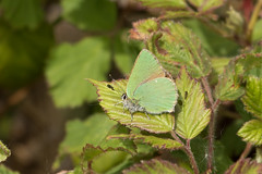 Green Hairstreak, Dartmoor (Martin F Hughes) Tags: martin hughes canon 7d mkii mk2 butterfly insect wings wildlife dartmoor green hairstreak