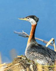Nesting Red Necked Grebe (edmason88) Tags: redneckedgrebe nesting threeeggs tamron150600 strathconacounty alberta canada