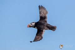 Puffin (Simon Stobart) Tags: puffin fratercula arctica flying north east england uk