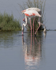 (nadiaorioliphoto) Tags: birds animals nature natura aves uccelli flamingos fenicotteri reflections riflessi water acqua pink rosa fauna deltadelpo