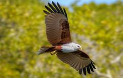 over the mangroves - brahminy kite #1 (Fat Burns ☮) Tags: brahminykite haliasturindus kitel raptor bird australianbird nature australiannature fauna australianfauna wildlife australianwildlife nudgeebeach brisbane queensland australia nikond500 nikon20005000mmf56vr outdoors