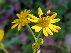 Krzydlina Mała (nesihonsu) Tags: senecio starzec starzecwiosenny seneciovernalis krzydlinamała lowersilesia asteraceae natureofpoland wildflower