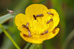 It's A Micro Moth Party But Your Not Invited (Mark Wasteney) Tags: happywingwednesday hww moth micromoths insect nature fauna flora flower