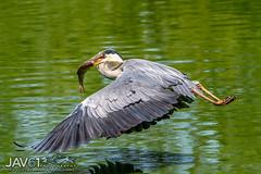 Big catch ... -7026 (George Vittman) Tags: bird items water birds catch egret fish flight heron lake marsh france
