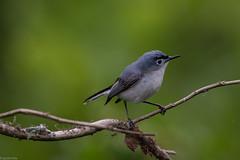Blue-gray Gnatcatcher (grobinette) Tags: gnatcatcher neotropical leesylvaniastatepark bluegraygnatcatcher