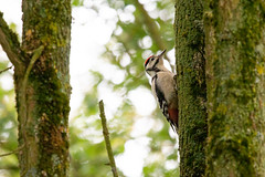 Young Woodpecker (oandrews) Tags: 30dayswild animal animals bird birds cambridgeshire canon canon70d canonuk dendrocoposmajor fauna grafhamwater greatspottedwoodpecker juvenile nature naturereserve outdoors wildlife wildlifetrusts woodpecker young huntingdon england unitedkingdom