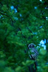 Waldohreule 2 (Berthold1) Tags: waldohreule eule owl wild wildlife naturfotografierosengarten stefanrosengarten asiootus longearedowl