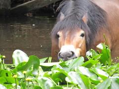 IMG_0724 pony munching waterlily leaves (belight7) Tags: exmoor pony pond eating burnham beeches nature uk england