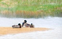 Mallards in the Mist (imageClear) Tags: ducks birds animal mallards male drakes wildlife resting beach marsh sheboygan wisconsin aperture nature nikon d600 18200mm imageclear flickr photostream