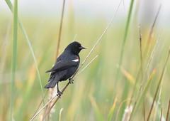 Tricolored Blackbird (Male) (Christopher Lindsey) Tags: male bird birds birding tricoloredblackbird sanjacinto riversidecounty california