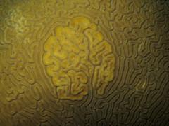 01-IMG_9685 (adrienweckel) Tags: adrienweckel cnidaires corailcerveaudeneptune diplorialabyrinthiformis