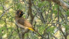 Dark capped Bulbul (Pycnonotus tricolor) (pero1961) Tags: tamron nikon d850 bird vögel oiseau 70200mm pycnonotustricolor