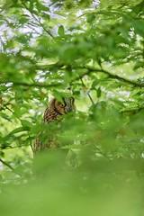 Waldohreule Mutter (Berthold1) Tags: waldohreule eule owl wild wildlife naturfotografierosengarten stefanrosengarten asiootus longearedowl