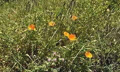 #Walking at #CrystalSprings #SawyerCampTrail (Σταύρος) Tags: greengrass wildflowers crystalspringspark flowers orangeflowers walking crystalsprings sawyercamptrail kalifornien californië kalifornia καλιφόρνια カリフォルニア州 캘리포니아 주 cali californie california northerncalifornia カリフォルニア 加州 калифорния แคลิฟอร์เนีย norcal كاليفورنيا