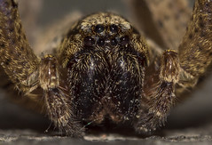 Zoropsis spinimana (Zoropsidae) (Yuri Mariannini Photo) Tags: macro macrodreams spider zoropsis ragno zoropsidae sonyalpha sony sonyalpha68 tamron tamronlens tamron60mm