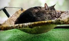 Archimedes' principle (cizauskas) Tags: cat pet humor physics canon canonfd legacylens manualfocus fotodiox