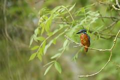 Kingfisher (Kentish Plumber) Tags: alcedoatthis kingfisher uk bird nature wildlife river medway kent red orange black blue perched willow