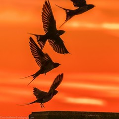 Flying away into the sunset (Steppenwolf33) Tags: bird swallow sunset steppenwolf33 flying