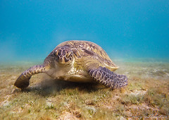 nom nom, lecker Seegras :-) (Planitzer Pictures) Tags: red sea meer turtle egypt abu ägypten marsa alam schildkröte rotes meeresschildkröte dabbab