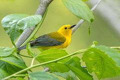 CA3I9428-Prothonotary Warbler (tfells) Tags: prothonotarywarbler songbird passerine susquehannastatepark maryland nature wildlife bird protonotariacitrea