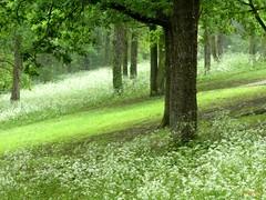 Parure printanière (FleurdeLotus28) Tags: eureetloir printemps spring nature landscape land countryside verdure champ field sousbois bois wood forêt forest flower white green blanc arbre tree perspective