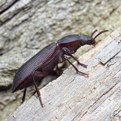 Tenebrio opacus (kahhihou) Tags: taxonomy:kingdom=animalia animalia taxonomy:phylum=arthropoda arthropoda taxonomy:subphylum=hexapoda hexapoda taxonomy:class=insecta insecta taxonomy:subclass=pterygota pterygota taxonomy:order=coleoptera coleoptera taxonomy:suborder=polyphaga polyphaga taxonomy:infraorder=cucujiformia cucujiformia taxonomy:superfamily=tenebrionoidea tenebrionoidea taxonomy:family=tenebrionidae tenebrionidae taxonomy:subfamily=tenebrioninae tenebrioninae taxonomy:tribe=tenebrionini tenebrionini taxonomy:genus=tenebrio tenebrio taxonomy:species=opacus taxonomy:binomial=tenebrioopacus tenebrioopacus